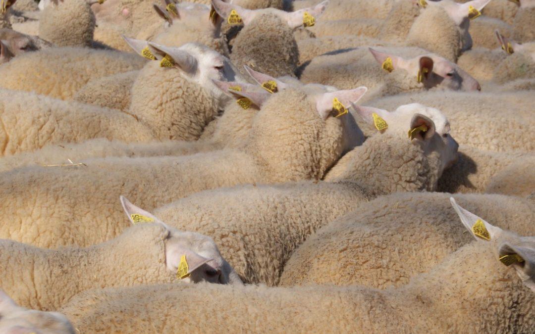 Pourquoi 5 races de mouton ?